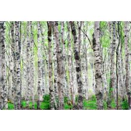 Fototapeta Background with trunks of birch trees with bright green leaves in spring Fototapety